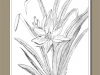 132-day-lily