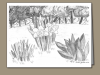 542-daffodils