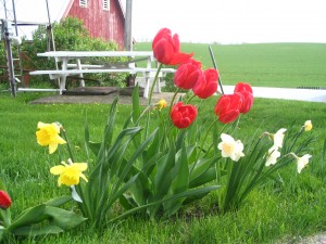 Daffodils, Tulips, picnic table, red barn, farm yard