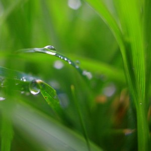 dewdrops sparklng on blades of green grass, dew drops, green grass