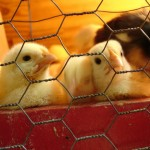 Chicks Find Home Sweet Home
