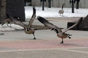Canadian geese landing,
