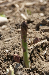 Single asparagus shoot emerging from ground