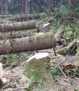 Stumps, logs lying, forest floor, trees cut