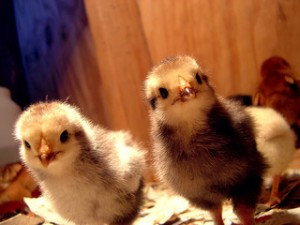 little chicks, chick faces