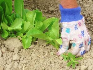 lettuce, weed, glove, hand, pulling weeds, garden