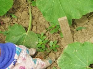 Squash, weed, glove, hand, pulling weeds, garden