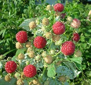 red raspberries, raspberry bush