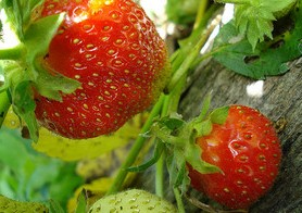 Red strawberries, strawberry plant