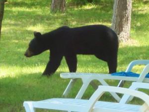 black bear, bear, bear cub, cub, lawn chairs