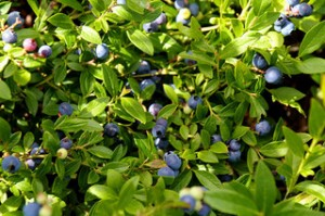 blueberry bush, blueberries, ripe blueberries