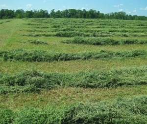 hay, drying hay, hay field, raked hay,