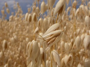 oats, ripe oats, oats on stem