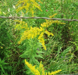 barbed wire fence, fence, goldenrod, blooming goldenrod
