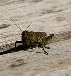 black cricket, cricket, insect,