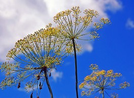 dill, dill flower, dill heads, blue sky,white clouds,