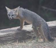 fox, gray fox