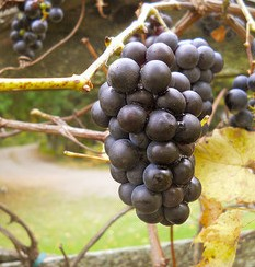 Grape clusters, grape vine, grapes