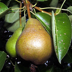 two pears, pear tree
