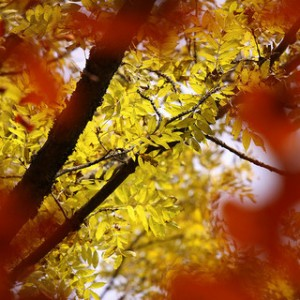 yellow leaves, autumn leaves, fall colored leaves,