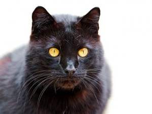 Black cat face, Black cat, golden cat eyes,