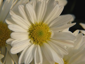 Crysanthemum, white Crysanthemum,