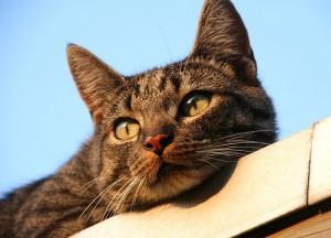 cat, tabby cat,