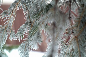 evreygreen, evergreen twigs, frost, frosty evergreen needles, evergreen needles,