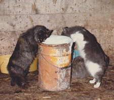 barn cats, bucket of milk, barn cats drink milk, milk pail,