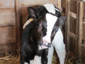 calf, holstein calf, calf pen, calf shed, straw,