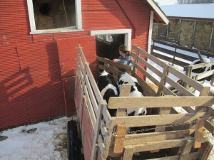 Calf shed, calf trailer, calves, holstein calves, hay shed, hay bales, square bales,