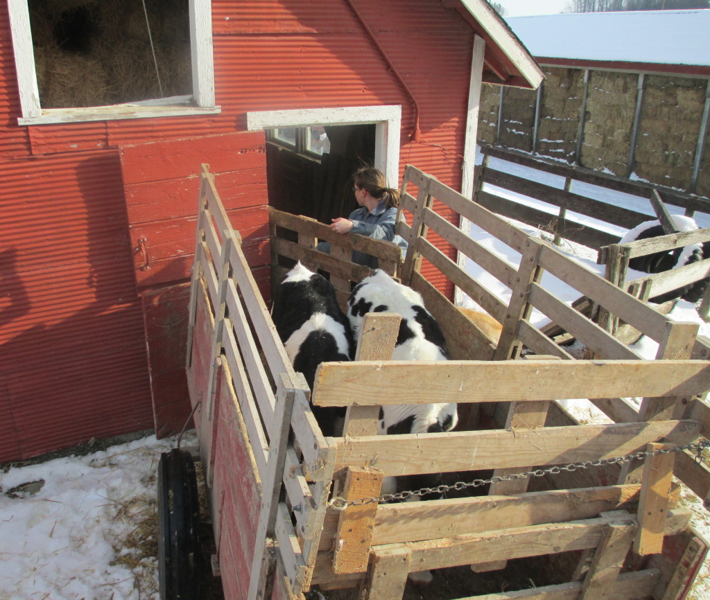 calf shed, loading calves in wagon, wagon, calves, holstein calves, black and white calves,