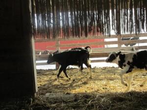 calves, holstein calves, skipping calves, baler twine, baler twine curtain,