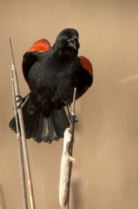 blackbird, red-winged blackbird, perched red-winged blackbird,