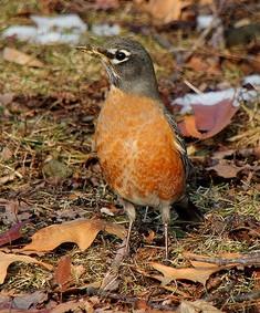 robin, bird,