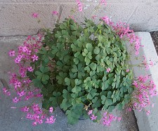 Green plant, shamrocks in bloom, pink shamrocks,