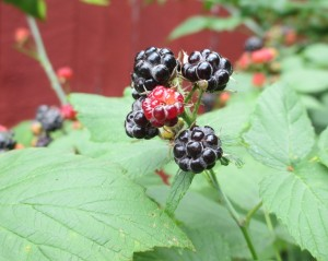 black Raspberries, Wild black Raspberries, raspberries, Raspberry plants,