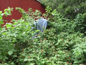 brambles, Black Raspberry patch, Black raspberry bushes, Picking berries,