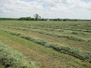 Rows of hay, Raked hay, alfalfa