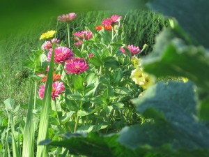 zinnias, garden, pink flowers, yellow flowers, flowers,