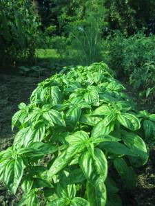basil, dill, herbs, garden,