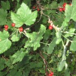 red currants, currants, currant bush,