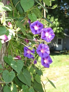 Purple morning glory, chicken wire, morning glory