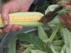 Fresh sweet corn, sweet corn, corn, shucks, corn shucks, shucking corn, being husked by hand from shucks