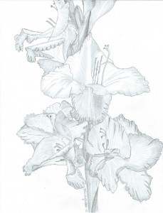 Pencil sketch, flower, gladiola,
