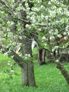 White apple blossoms, apple blossoms, apple tree,