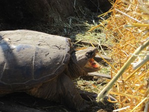 Snapping Turtle,Turtle Mouth,