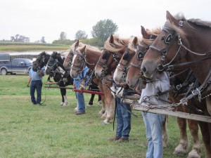 Horse teams, team drivers, Minnesota state corn husking contest,