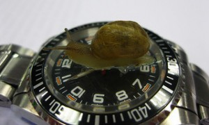 wristwatch, black face watch, snail crawling on watch, Snail on watch crystal,,