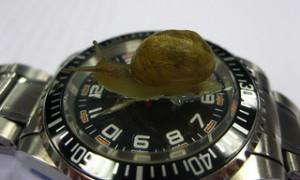 wristwatch, black face watch, snail crawling on watch, Snail on watch crystal,,